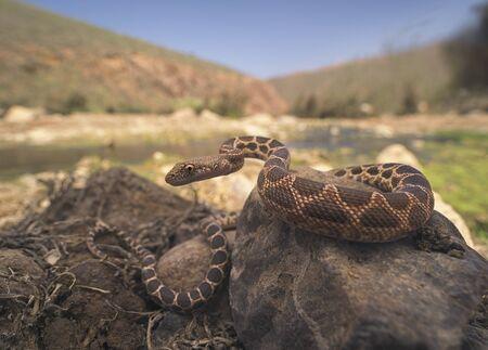 Mograbin Diadem Snake (Spalerosophis dolichospilus) on rocks, Tan-Tan, Morocco