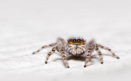 Portrait of a jumping spider (salticidae), Florida, America, USA