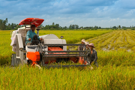 one mature man only: Men harvesting rice, Can Tho City, Vietnam LANG_EVOIMAGES