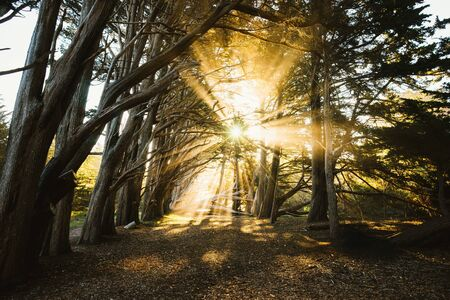 Sunlight beaming through a Cypress Tree Grove, Fitzgerald Marine Reserve, California, America, USA