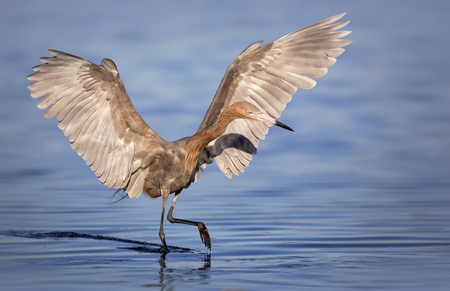 Reddish egret (Egretta rufescens) hunting for food, Florida, America, USA