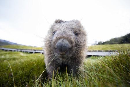 Primer plano de un Wombat, Tasmania, Australia