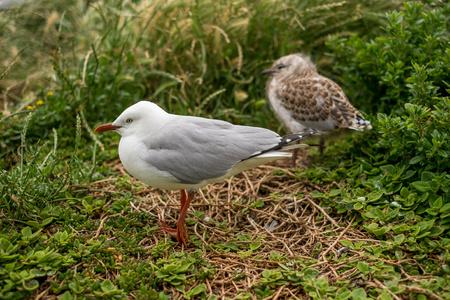 Two seagulls, Philips Island, Gippsland, Victoria, Australia