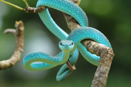 Blue viper snake on a branch, Indonesia