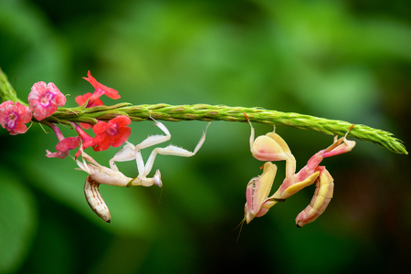 Two mantis insects on a plant, Teluk Bahang, Penang, LANG_EVOIMAGES