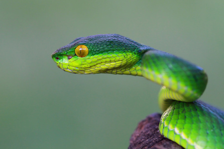 Side view of a Viper snake head, Indonesia