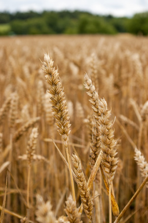 Close-up of wheat in field, Uppsala, Sweden LANG_EVOIMAGES