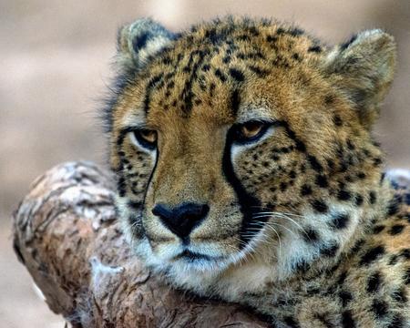 cheetah cub: Portrait of a cheetah cub, Mpumalanga, South Africa LANG_EVOIMAGES