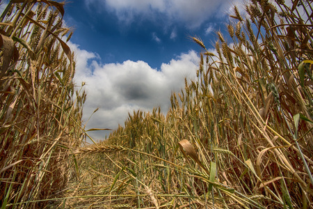 Close-up of a wheat field, San Giuliano Nuovo, Piedmont, Italy LANG_EVOIMAGES