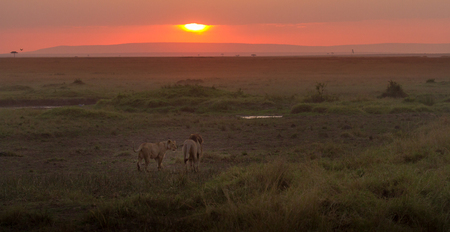move in: Lion and lioness walking towards the sunset, Maasai Mara, Kenya LANG_EVOIMAGES