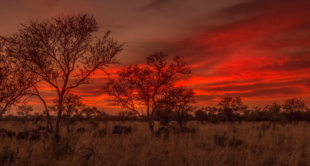 Herd of wildebeest in Madikwe Game Reserve at sunset, South Africa LANG_EVOIMAGES