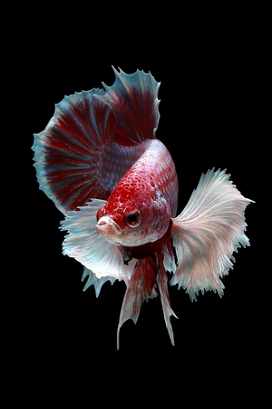 Portrait of a betta fish swimming against a black background