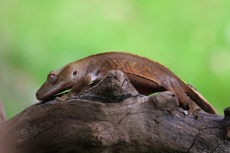 Crested gecko on a branch  LANG_EVOIMAGES
