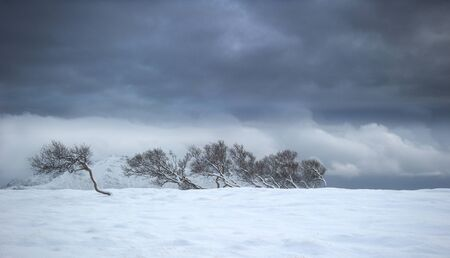 Trees leaning in the wind, Haugheia, Vestvagoy, Lofoten, Nordland, Norway