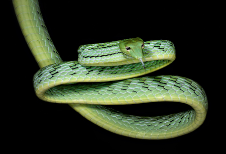 Oriental Whip snake (Ahaetulla prasina),Koh Tao,Thailand