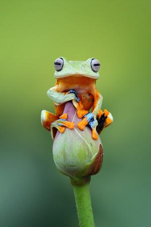 Javan tree frog sitting on a lotus flower bud