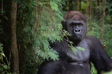 Portrait of a silverback gorilla, Rwanda
