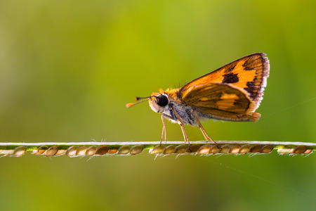 Skipper butterfly on a plant, Jakarta, Indonesia LANG_EVOIMAGES