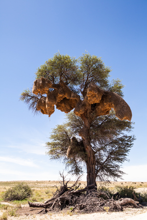 Sociable weaver nests in a tree, South Africa