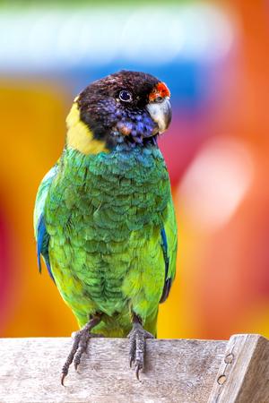 Portrait of a Ringneck Parrot, Western Australia, Australia LANG_EVOIMAGES