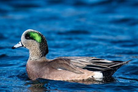 American Wigeon swimming in a lake, British Columbia, Canada
