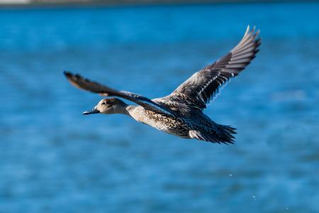 Mallard duck in flight over a lake, British Columbia, Canada