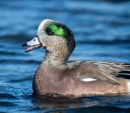 American Wigeon in a lake, British Columbia, Canada