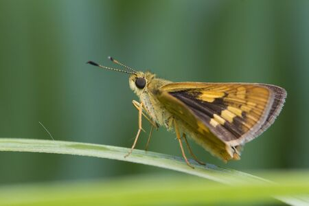 Butterfly on a plant, Indonesia Banque d'images - 129533358