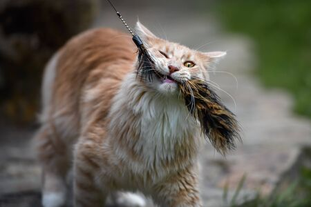 Maine Coon cat playing with a cat wand toy Banque d'images - 129533550