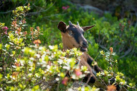 Mountain Goat in the Austrian Alps, Gastein, Salzburg, Austria LANG_EVOIMAGES