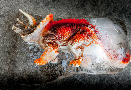 triceratops: Frozen dinosaur called  Triceratops Stock Photo