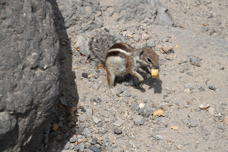 barbary: Barbary ground squirrel eating