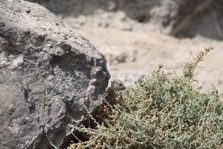barbary: Hiding barbary ground squirrel in Fuerteventura
