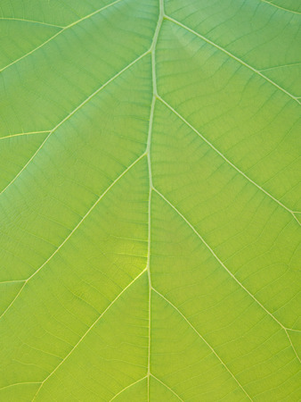 teak: Green teak leaves with beautiful natural pattern