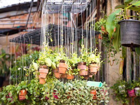 ollas de barro: Planta en las vasijas de barro que cuelgan en el jardín