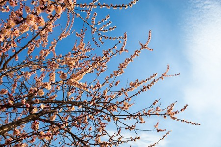 anthesis: Apricot blossom branches against the sky with cirrus clouds