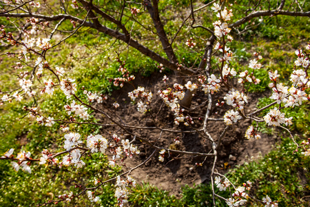anthesis: Young well-groomed and earthed up apricot tree in blossom
