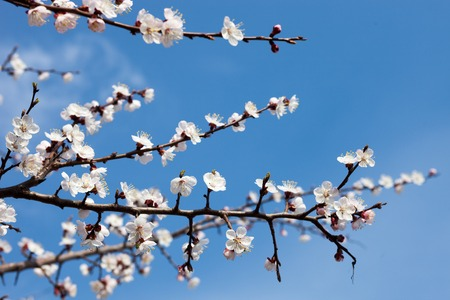 anthesis: Apricot blossom branches against the blue sky