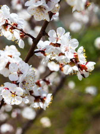 anthesis: Apricot blossom branches against the green grass background Stock Photo