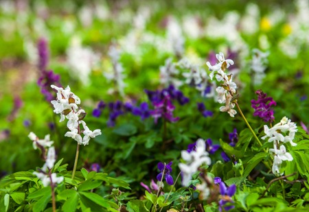 anthesis: Meadow with Corydalis flowers of different colors