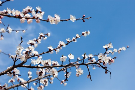 anthesis: Apricot blossom branches against the blue sky.