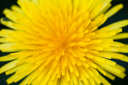 anthesis: Closeup of the blooming yellow dandelion flower  Stock Photo
