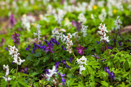 corydalis: Meadow with Corydalis flowers of different colors