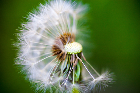 partly: Dandelion flower with partly overblown seeds on the green  Stock Photo