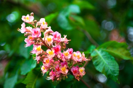 Bunch of pink flowers of the horse chestnut tree stock photo bunch of pink flowers of the horse chestnut tree stock photo 28801199 mightylinksfo