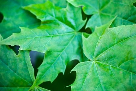 aceraceae: Bright green leaves of the maple tree