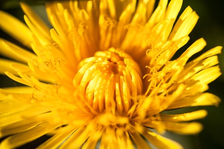 anthesis: Closeup of the blooming yellow dandelion flower.