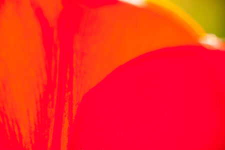 bright colour: Closeup of the petals of the red-orange tulip flower. Bright colour background.