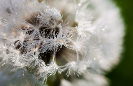 Closeup of the seeds of the dandelion flower with the drops of dew  photo