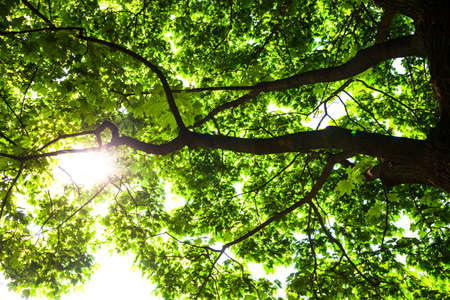 aceraceae: Silhouette of green maple tree against the shining sun  Stock Photo